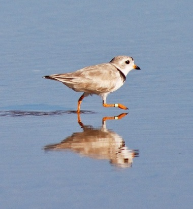 Piping plover Photo: Roger Eriksson